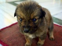 Baby Tibetan Mastiff
