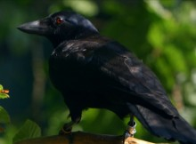 Are Crows the Ultimate Problem Solvers?