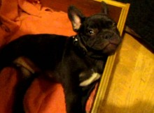 World's Cutest French Bulldog Doesn't Want to Go to Bed